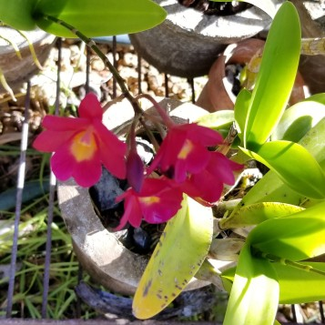 mom's orchids
