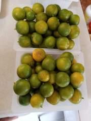 Morning harvest of Calamansi