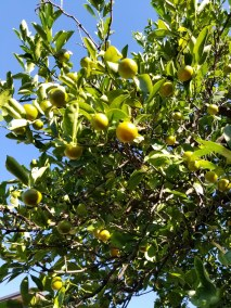 fruit on the tree