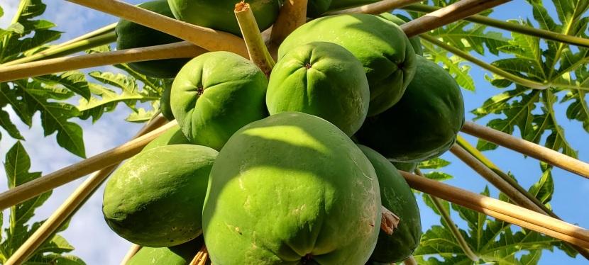 Cora's Garden: Papaya
